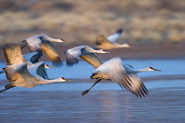 Sandhill cranes, Grus canadensis, Bosque del Apache, Socorro, New Mexico, United States of America, North America