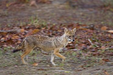 Golden jackal, Canis aureus, Bandhavgarh National Park, Madhya Pradesh, India, Asia
