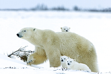 Polar bear (Ursus maritimus) mother with triplets, Wapusk National Park, Churchill, Hudson Bay, Manitoba, Canada, North America - 748-552