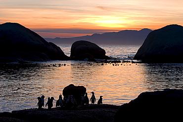 Jackass penguins (African penguins) (Speniscus demersus), Boulder's Beach, Cape Town, South Africa, Africa