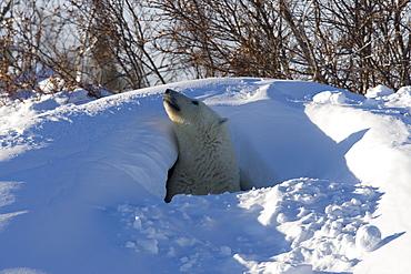 Polar Bear, (Ursus maritimus), Churchill, Manitoba, Canada