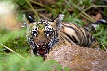 Indian tiger (Bengal tiger) (Panthera tigris tigris), cub at the samba deer kill, Bandhavgarh National Park, Madhya Pradesh state, India, Asia