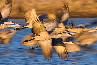 Sandhill Crane, (Grus canadensis), Bosque del Apache, Socorro, New Mexico, USA