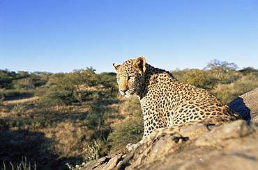 Leopard (Panthera pardus), Erongo region, Namibia, Africa