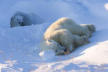 Polar Bear with cubs, (Ursus maritimus), Churchill, Manitoba, Canada