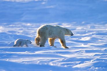 Polar Bear with a cub, (Ursus maritimus), Churchill, Manitoba, Canada