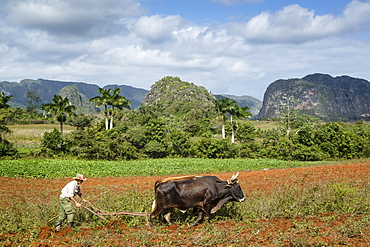 Farmer working in the field in the Vinales Valley, UNESCO World Heritage Site, Pinar del Rio, Cuba, West Indies, Caribbean, Central America