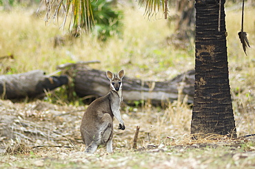 Pretty-face (Whiptail) wallaby, Carnarvon Gorge, Carnarvon National Park, Queensland, Australia, Pacific