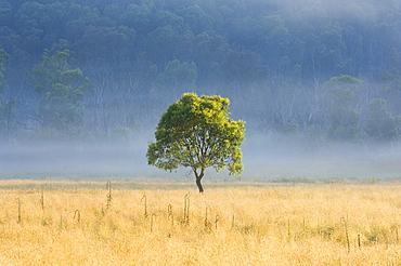 Gum tree, Kosciuszko National Park, New South Wales, Australia, Pacific