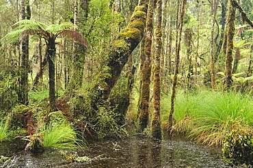 Swamp Forest, Ships Creek, West Coast, South Island, New Zealand, Pacific