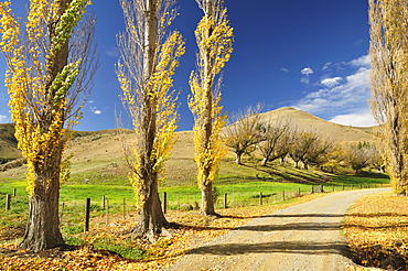 Poplar alley, Omarama Valley, Canterbury, South Island, New Zealand, Pacific
