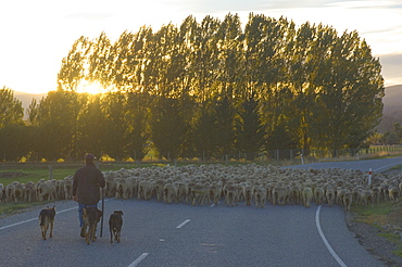 Driving sheep, Tarras, Central Otago, South Island, New Zealand, Pacific