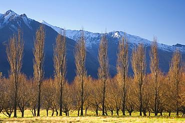 Poplar trees, Matukituki Valley, Central Otago, South Island, New Zealand, Pacific