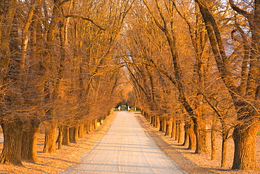 Elm tree alley, Wahgunyah, Victoria, Australia, Pacific