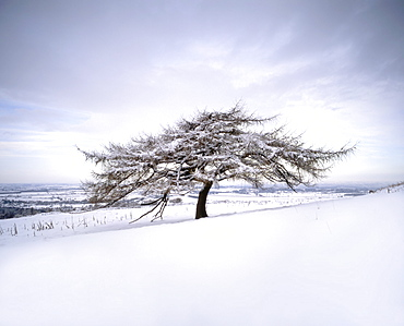 Tree in winter snow, North York Moors National Park, North Yorkshire, England