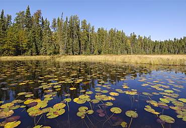 Water lilies on the Frost River, Boundary Waters Canoe Area Wilderness, Superior National Forest, Minnesota, United States of America, North America
