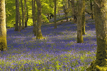 Bluebells in Carstramon Wood, Dumfries and Galloway, Scotland, United Kingdom, Europe
