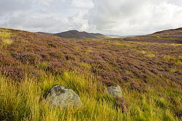 Heather on the Galloway Hills, Castramont Hill looking towards Craig of Grobdale, Dumfries and Galloway, Scotland, United Kingdom, Europe