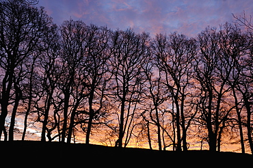 Dawn over copse of oak trees, Dumfries and Galloway, Scotland, United Kingdom, Europe