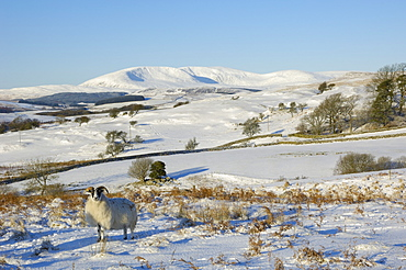 Black faced sheep with Cairnsmore of Fleet in the background in winter snow, Laghead, Dumfries and Galloway, Scotland, United Kingdom, Europe
