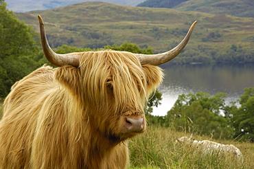 Highland cattle above Loch Katrine, Loch Lomond and Trossachs National Park, Stirling, Scotland, United Kingdom, Europe