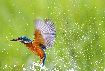 Kingfisher (Alcedo atthis), United Kingdom, Europe