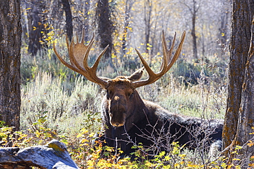 Moose (Alces alces), Gros Ventre valley, Grand Tetons National Park, Wyoming, United States of America, North America