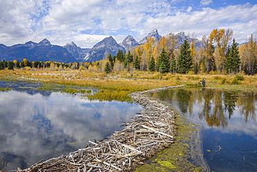 Beaver dam, Snake River at Schwabacher Landing, Grand Tetons National Park, Wyoming, United States of America, North America
