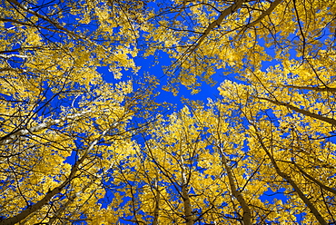 Aspens in fall (Populus tremuloides), Grand Tetons National Park, Wyoming, United States of America, North America
