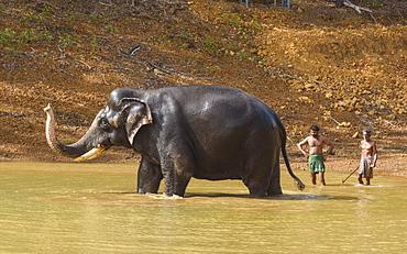 Washing the elephants at Kottoor Kappukadu Elephant rehabilitation centre, Kerala, India, South Asia