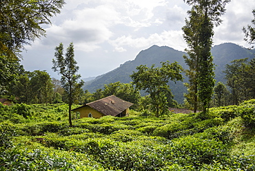Nilgiri Hills, rainforest and tea plantations, EcoScape, Tamil Nadu, India, South Asia