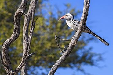Southern Red-billed Hornbill (Tockus rufirostris), Makgadikgadi Pans National Park, Kalahari, Botswana, Africa