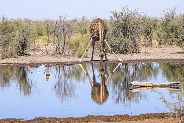 Southern giraffe (Giraffa giraffa) drinking at a waterhole, Makgadikgadi Pans National Park, Kalahari, Botswana, Africa