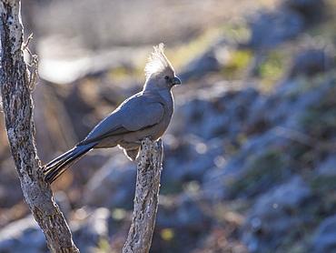 Grey Go-away-bird (Corythaixoides concolor), Makgadikgadi Pans National Park, Kalahari, Botswana, Africa