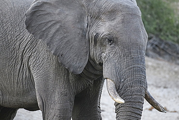 African Elephant (Loxodonta africana), Makgadikgadi Pans National Park, Kalahari, Botswana, Africa
