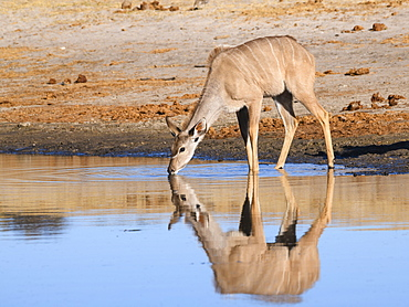 Female Greater Kudu (Tragelaphus strepsiceros), drinking in the Boteti River, Makgadikgadi Pans National Park, Kalahari, Botswana, Africa