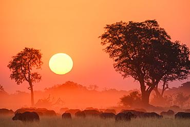 African buffalo (Cape Buffalo) (Syncerus caffer), at sunset, Bushman Plains, Okavango Delta, Botswana, Africa