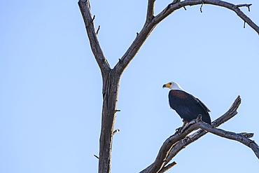 African Fish Eagle (Haliaeetus vocifer) in a tree, Khwai Private Reserve, Okavango Delta, Botswana, Africa