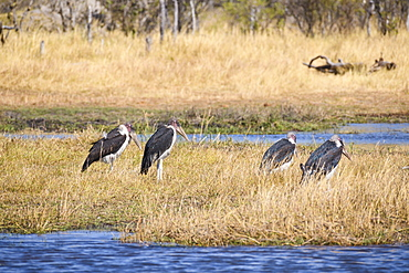 Marabou Stork (Leptoptilos crumenifer), Khwai Private Reserve, Okavango Delta, Botswana, Africa