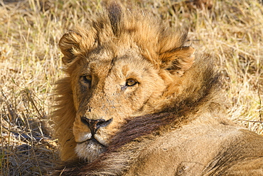 Male Lion (Panthera leo) resting during the heat of the day, Khwai Private Reserve, Okavango Delta, Botswana, Africa
