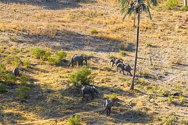 Aerial view of African Elephant (Loxodonta africana) from helicopter, Macatoo, Okavango Delta, Botswana, Africa