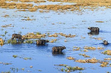 Aerial view of African buffalo (Cape Buffalo) (Syncerus caffer), Macatoo, Okavango Delta, Botswana, Africa