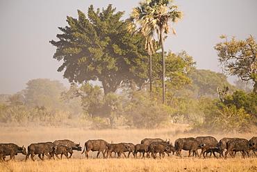 Herd of African buffalo (Cape Buffalo) (Syncerus caffer), Macatoo, Okavango Delta, Botswana, Africa