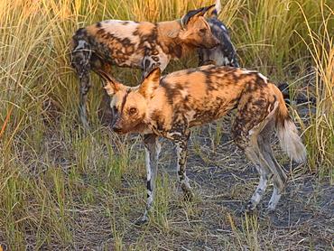 African wild dog (painted wolf) (Lycaon pictus), Bushman Plains, Okavango Delta, Botswana, Africa