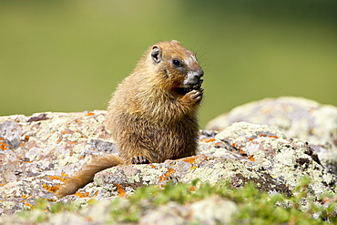 Young yellowbelly marmot (Marmota flaviventris) grooming, Uncompahgre National Forest, Colorado, United States of America, North America