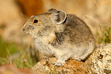 Pica (Pica pica), Shoshone National Forest, Wyoming, United States of America, North America