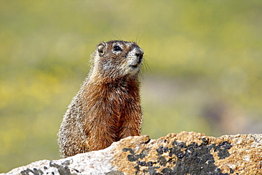 Yellowbelly marmot (Marmota flaviventris), Shoshone National Forest, Wyoming, United States of America, North America