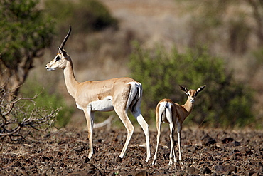 Grant's gazelle (Gazella granti) female and calf, Samburu National Reserve, Kenya, East Africa, Africa