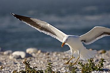 Cape gull (Larus vetula) landing, Lamberts Bay, Western Cape Province, South Africa, Africa
