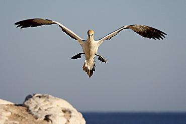 Cape gannet (Morus capensis) landing, Lamberts Bay, Western Cape Province, South Africa, Africa